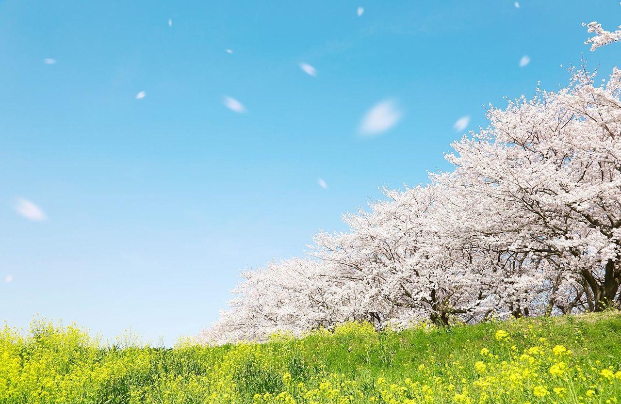 菊池の日日是好日 №32「桜・さくら」