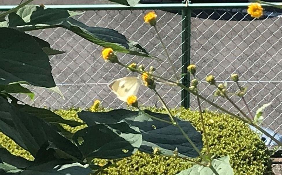 季節外れの蝶?ではなく「秋の蝶」
