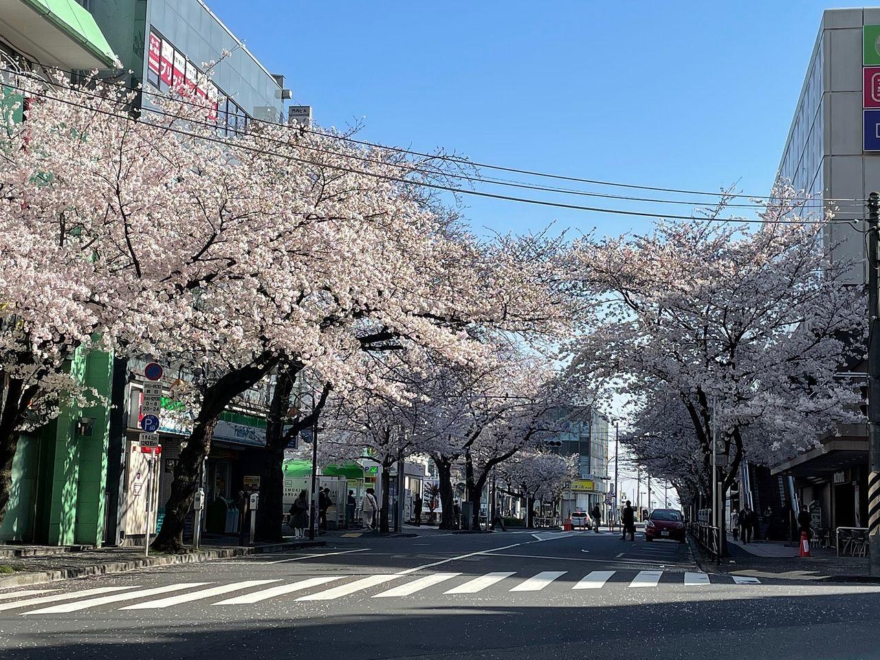 田園都市線「鷺沼」駅周辺は桜が満開です!